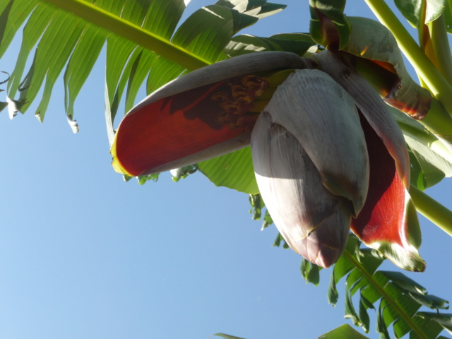 Bananengewächse (Musaceae) - Seite 7 P1000010