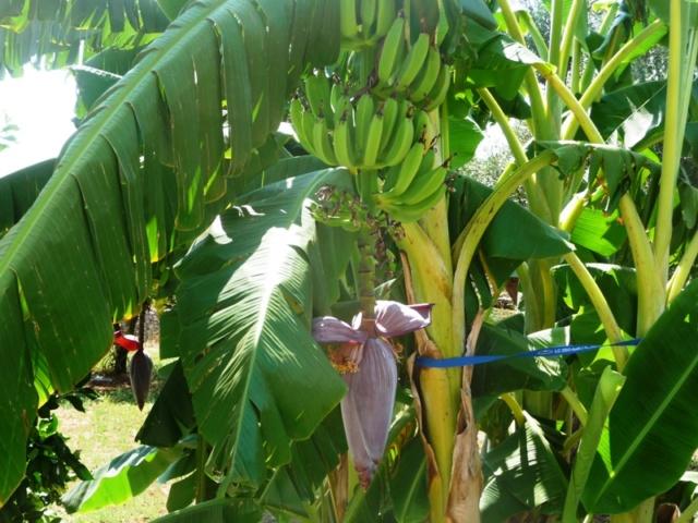 Bananengewächse (Musaceae) - Seite 8 P1000013