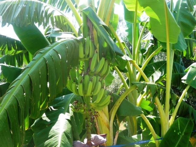 Bananengewächse (Musaceae) - Seite 8 P1000014