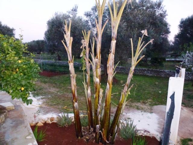 Bananengewächse (Musaceae) - Seite 8 P1000210
