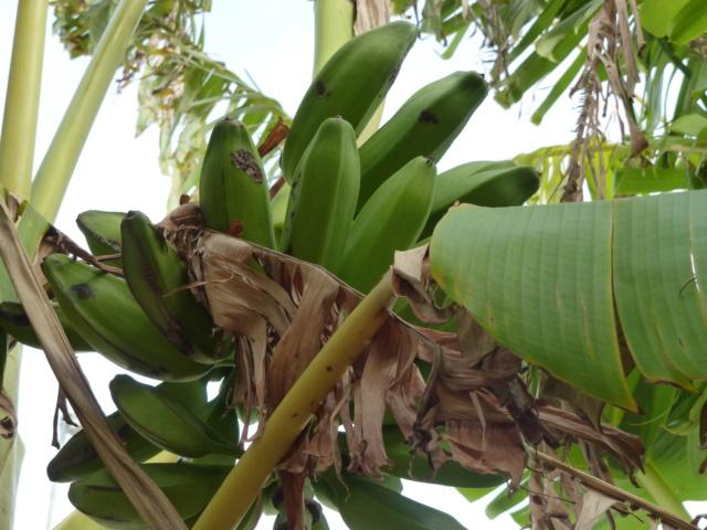 Bananengewächse (Musaceae) - Seite 9 P1000712
