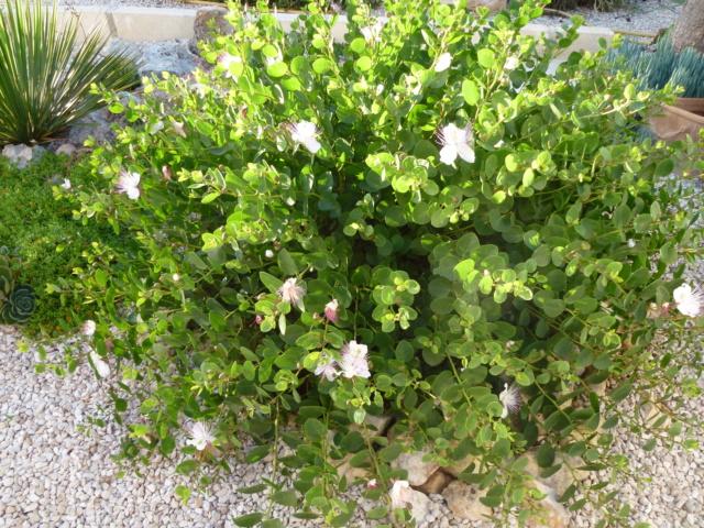 Aus einer Wüste entsteht ein Exotengarten - Seite 32 P1010234