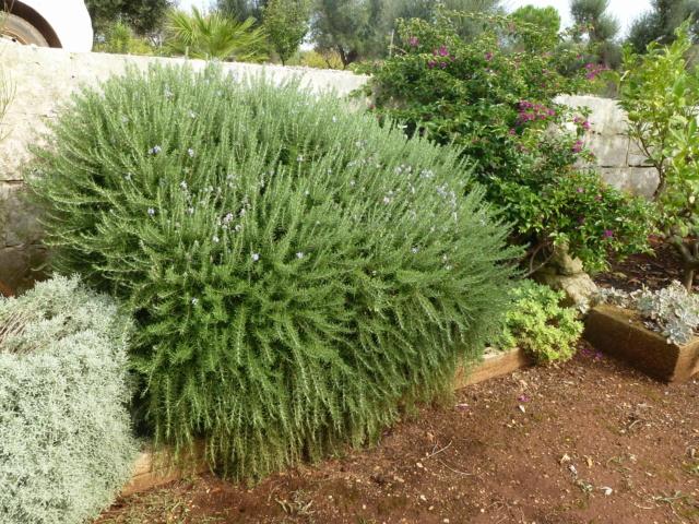 Aus einer Wüste entsteht ein Exotengarten - Seite 45 Rosmar10