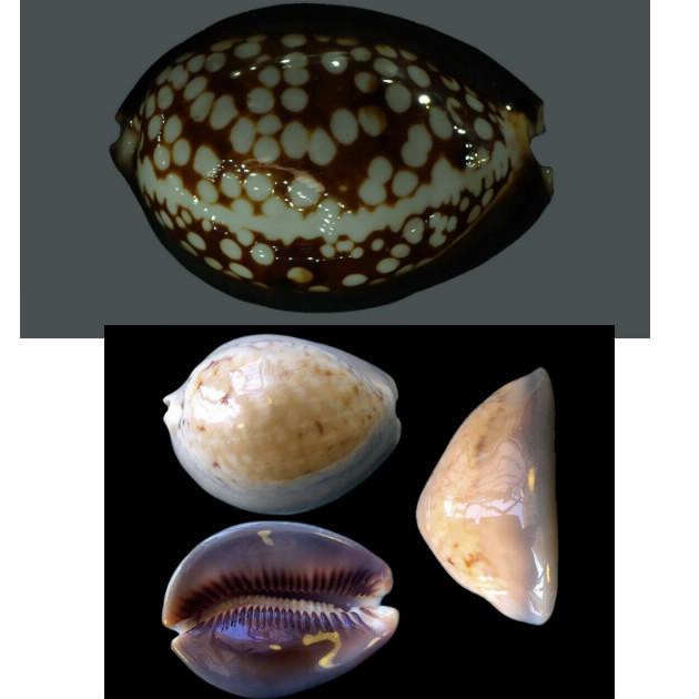Mauritia mauritiana albiflora - (Petrbok, 1932)  - Page 2 Albifl10