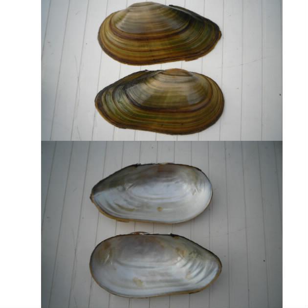 Anodonta cygnea Anoton10