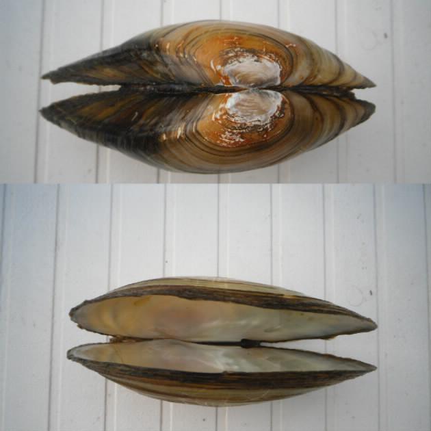 Anodonta cygnea Anoton12