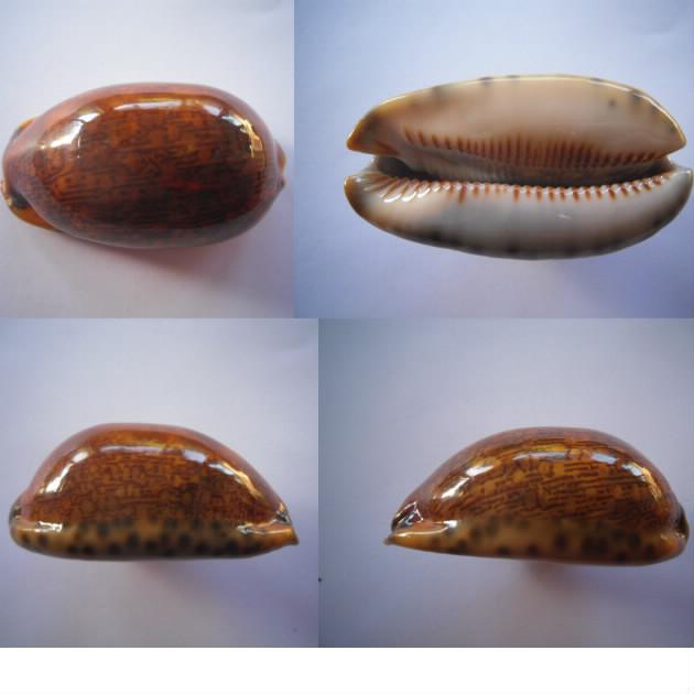 Mauritia arabica arabica - (Linnaeus, 1758)  - Rusty Arabic17
