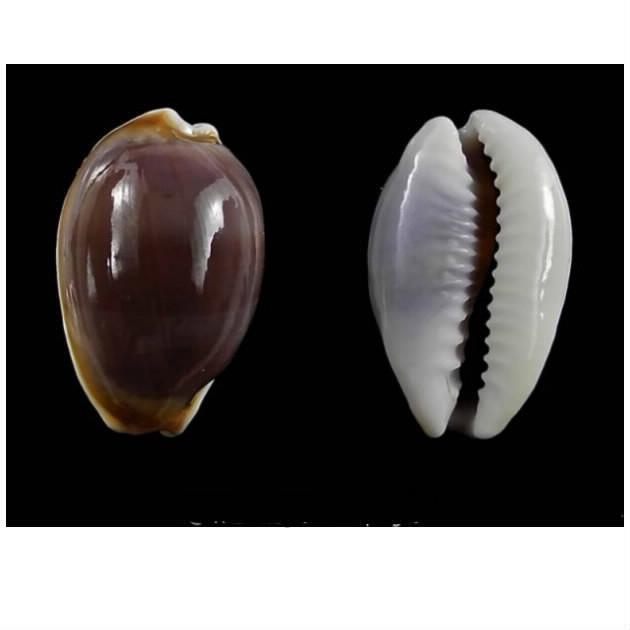 Palmadusta artuffeli - (Jousseaume, 1876) mais ça n'en ai pas une Artufe10