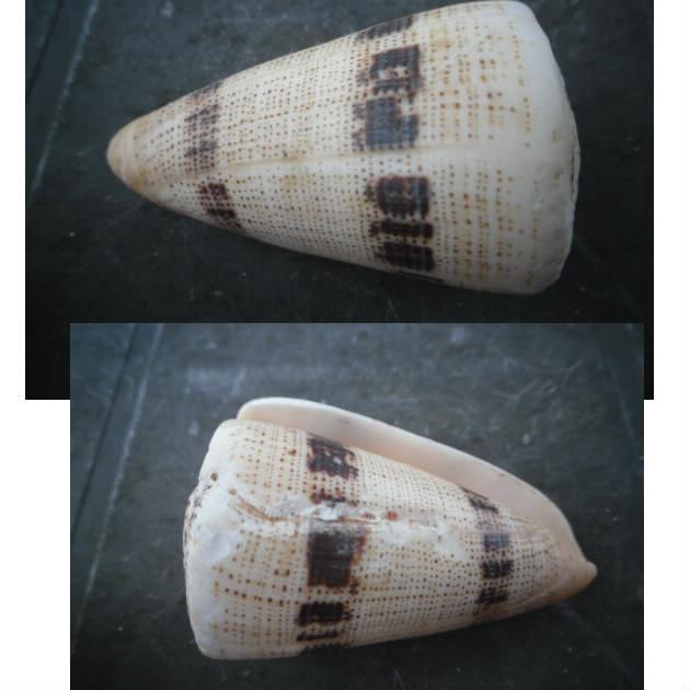 Conus (Strategoconus) augur [Lightfoot], 1786 Bloggi12