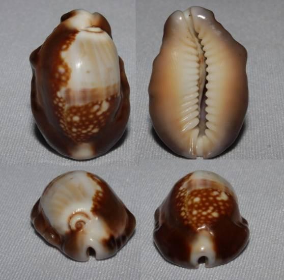 Mauritia mauritiana - (Linnaeus, 1758) - gerontic Caput_10