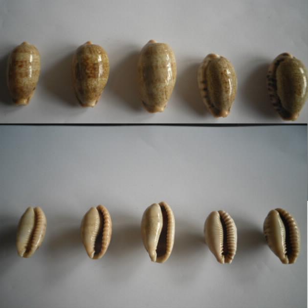 Erronea caurica - (Linnaeus, 1758) Cauric10