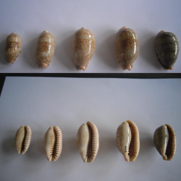Erronea caurica - (Linnaeus, 1758) Cauric11