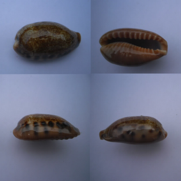 Erronea caurica chrismeyeri - Lorenz, 2017 Cauric23