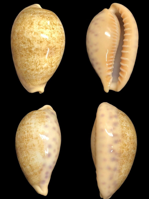 Cypraea ovatipsa chinensis v.kwazulu Chinen10
