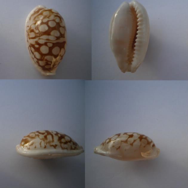 Cribrarula_cribraria_(Linnaeus_1758) Cribra14