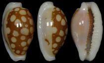 Cribrarula_cribraria_cribraria_(Linnaeus_1758) Cribra18