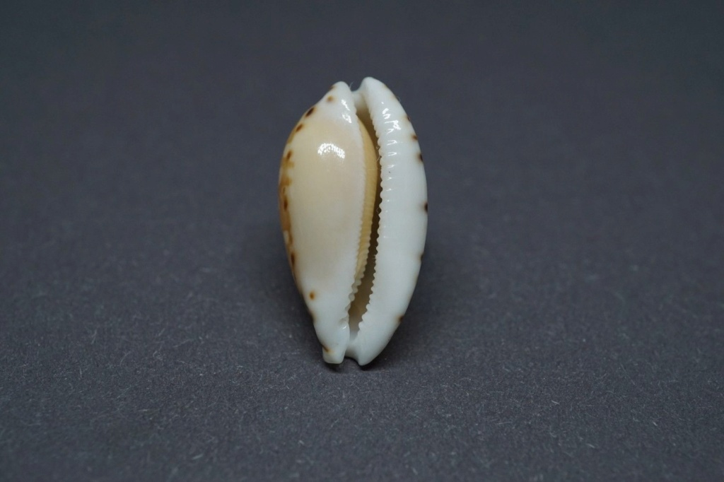 Cribrarula cumingii - (Gray, 1832) & Cribrarula cumingii cleopatra - Sowerby 1832 - Page 2 Cuming11