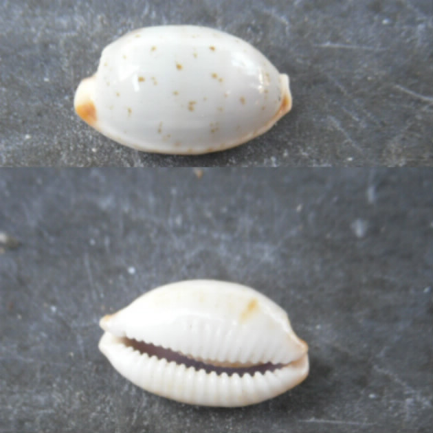 Bistolida stolida clavicola Lorenz, 1998 Cyprae10