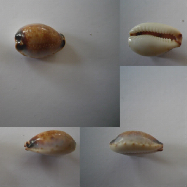 Naria gangranosa annosa - (Vayssière, 1905) Gangra10
