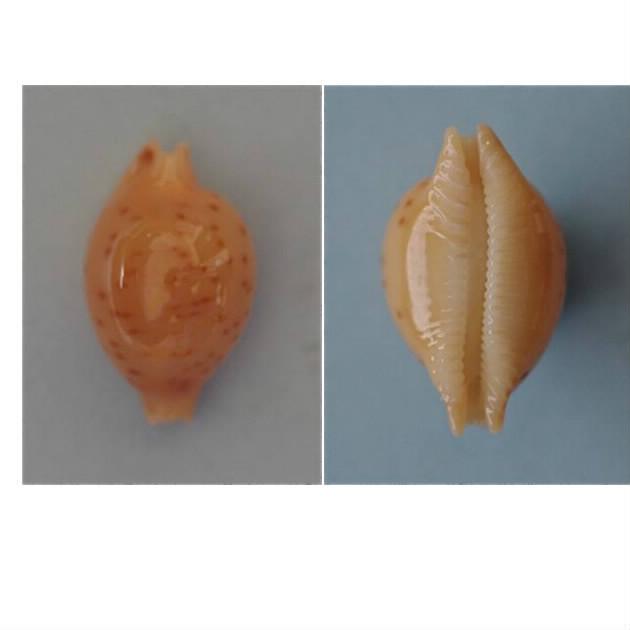 Pustularia globulus brevirostris var. deannae - Lorenz, 2014 Globul10