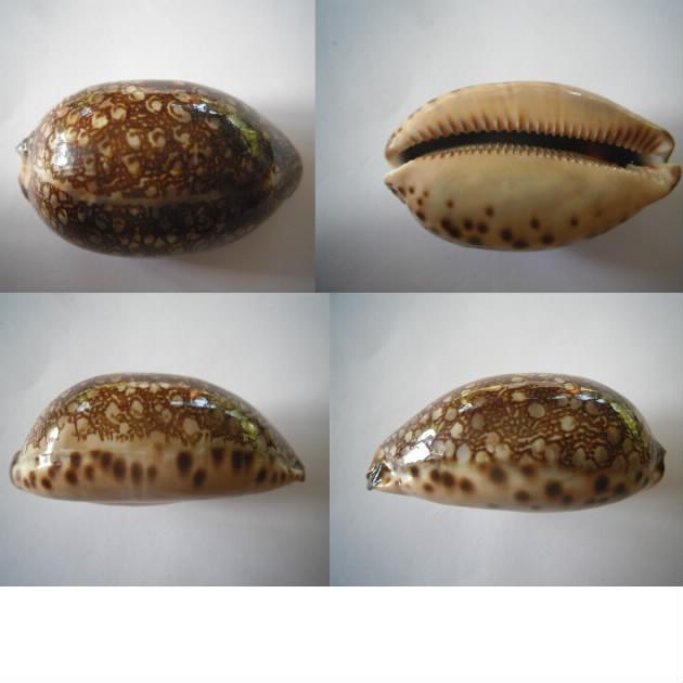Mauritia arabica immanis - Schilder & Schilder, 1939  - Page 4 Immani10