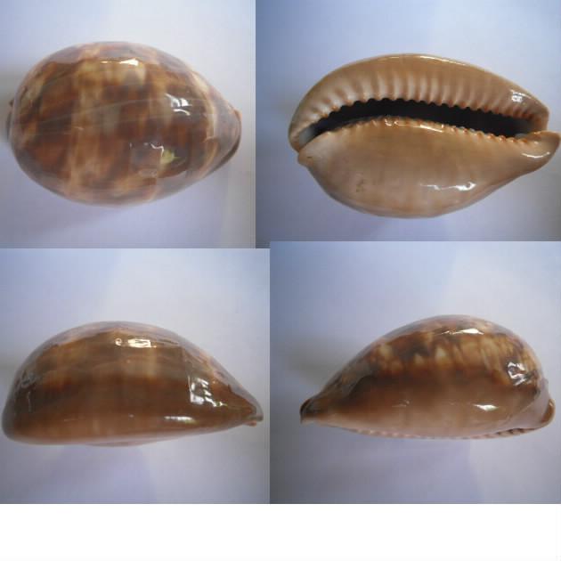 Mauritia mauritiana - (Linnaeus, 1758)  juvénile à sub-adulte Maurit16