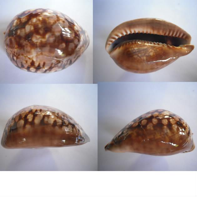 Mauritia mauritiana - (Linnaeus, 1758)  juvénile à sub-adulte Maurit17