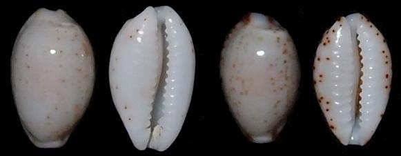 Bistolida stolida clavicola Lorenz, 1998 Nanost10