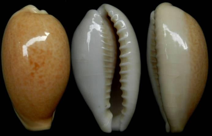 Erronea_ovum_(Gmelin_1791) Ovum_o10