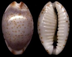 Bistolida stolida clavicola Lorenz, 1998 Owenii11