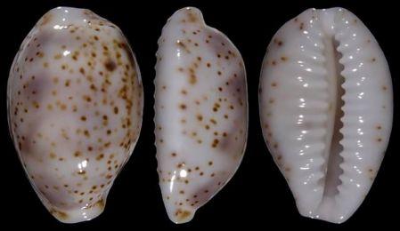 Bistolida stolida clavicola Lorenz, 1998 Owenii12