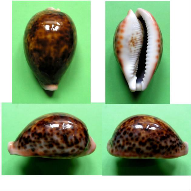 Cypraea pantherina f. funebralis - (Sulliotti, 1924)  Panthe11