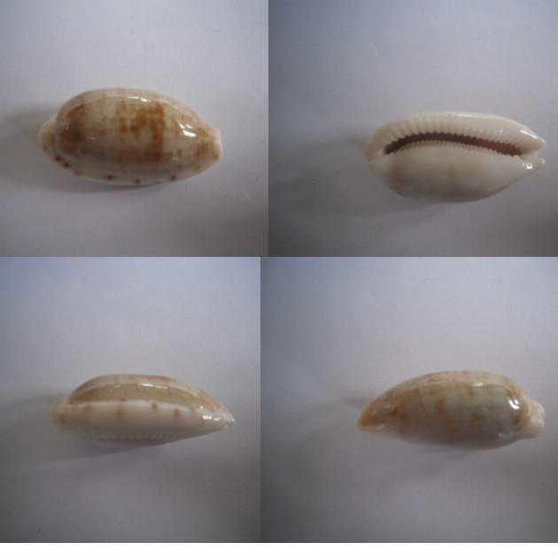 Talostolida pellucens pellucens (Melvill, 1888) vs f. alisonae (Burgess, 1983) Pelluc10