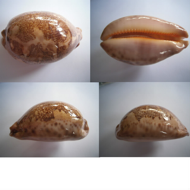 Leporicypraea Rosea ultraviola (Lorenz & Bridges 2014) Rosea_10