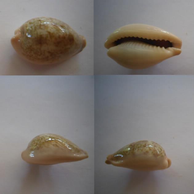 Erronea subviridis anceyi - (Vayssière, 1905) voir Erronea subviridis (Reeve, 1835) Subvir10