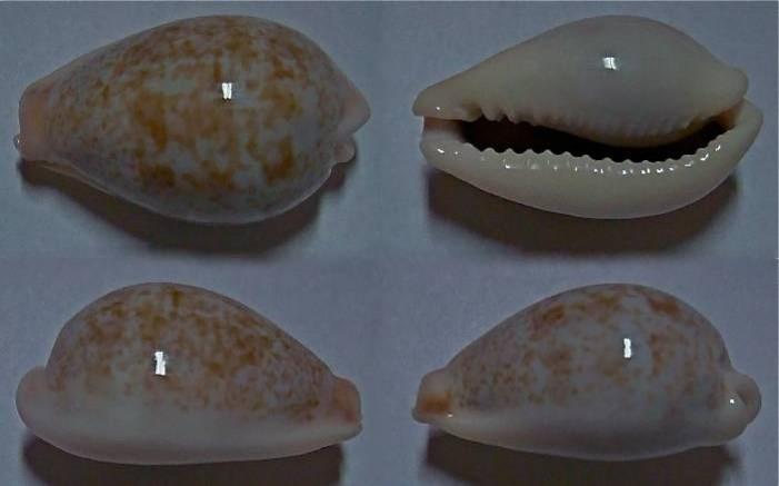 Erronea subviridis anceyi - (Vayssière, 1905) voir Erronea subviridis (Reeve, 1835) Subvir11