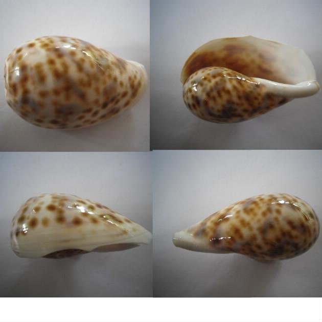 Mauritia_mauritiana_(Linnaeus_1758)_juvénile Tigris32