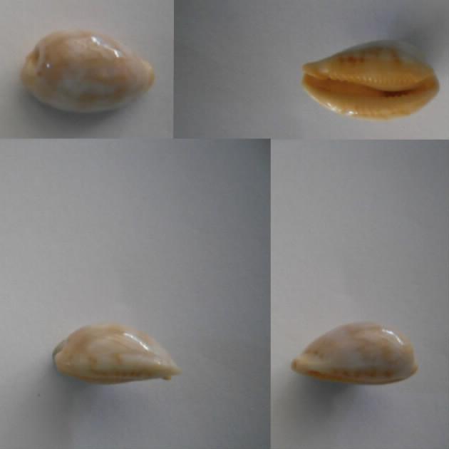 Palmadusta Ziczac f. undata (Lamarck, 1810) Ziczac11