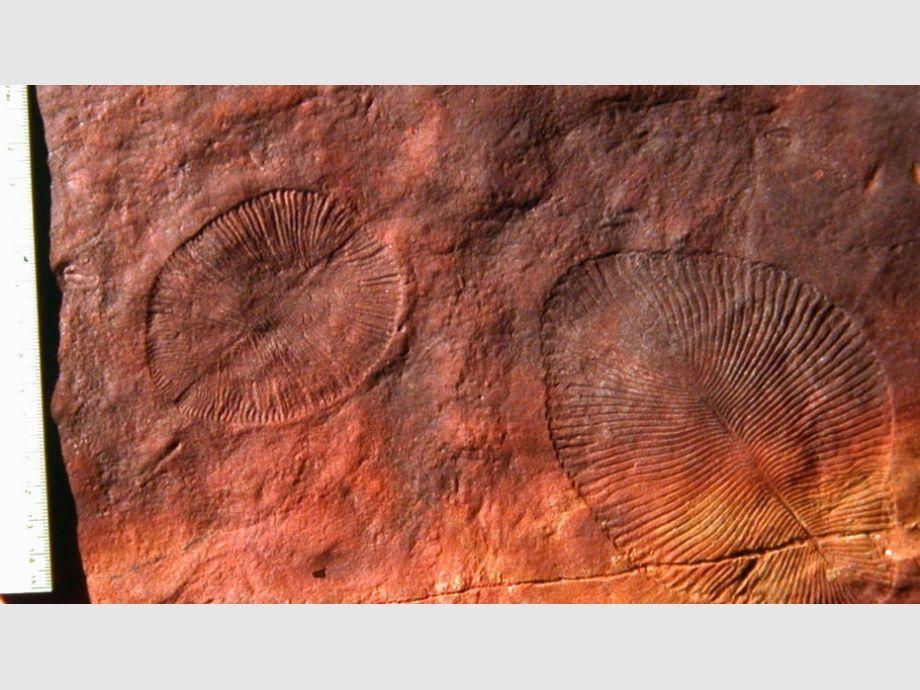 Encontraron los restos del animal más antiguo de la Tierra Antigu10