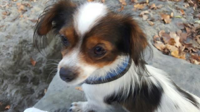Tessa - femelle martyre - chez Rudy (Iasi) - réservée adoption (Suisse) 5a934e10