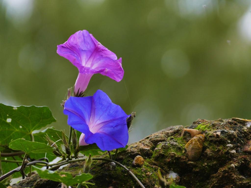 Fleurs de liserons ... au Maroc ... P1050010