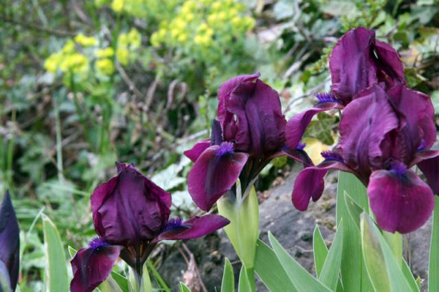 quelques iris à identifier svp 12041410