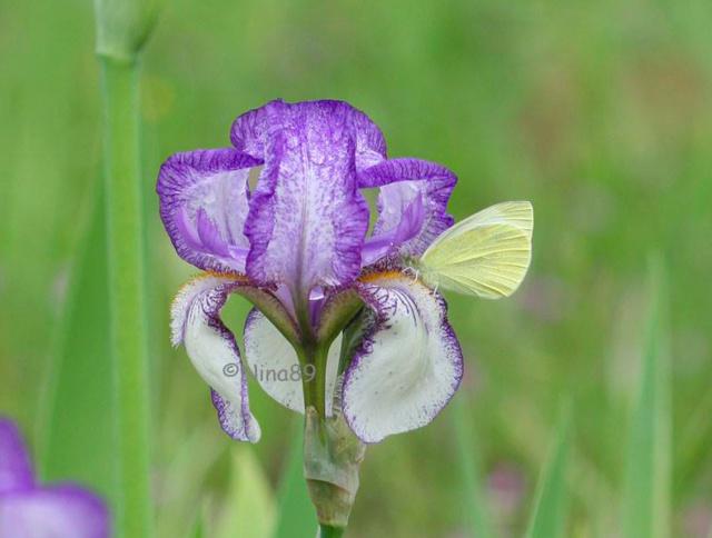 quelques iris à identifier svp Captur10