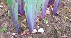coloris violet à la base des feuilles Captur11