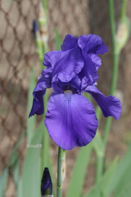 Beau bleu à identifier stp Iris_b10
