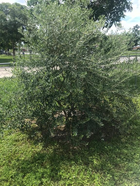 ¿Qué le pasa a mi olivo que no me alegra con aceitunas? (Madrid) - Página 2 Olive-13
