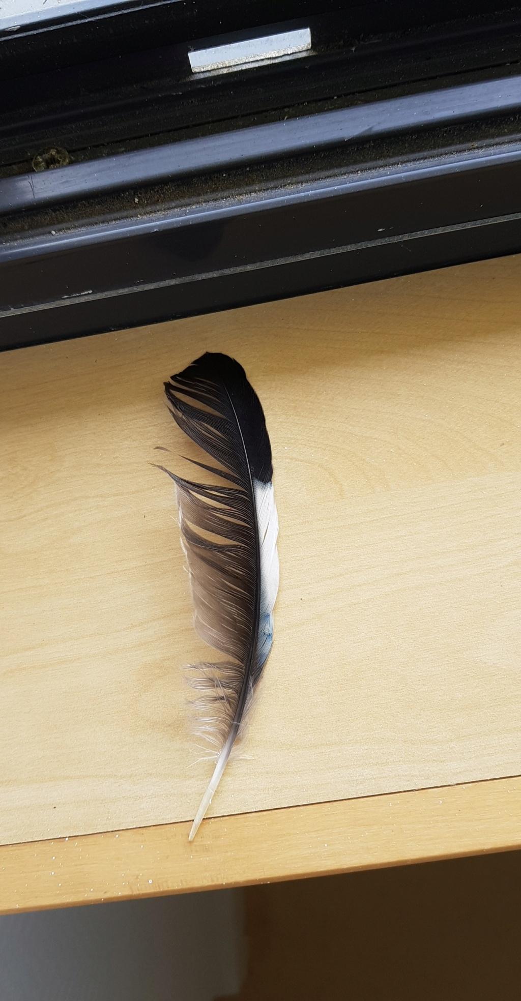 Identifications de plumes  Plume_14