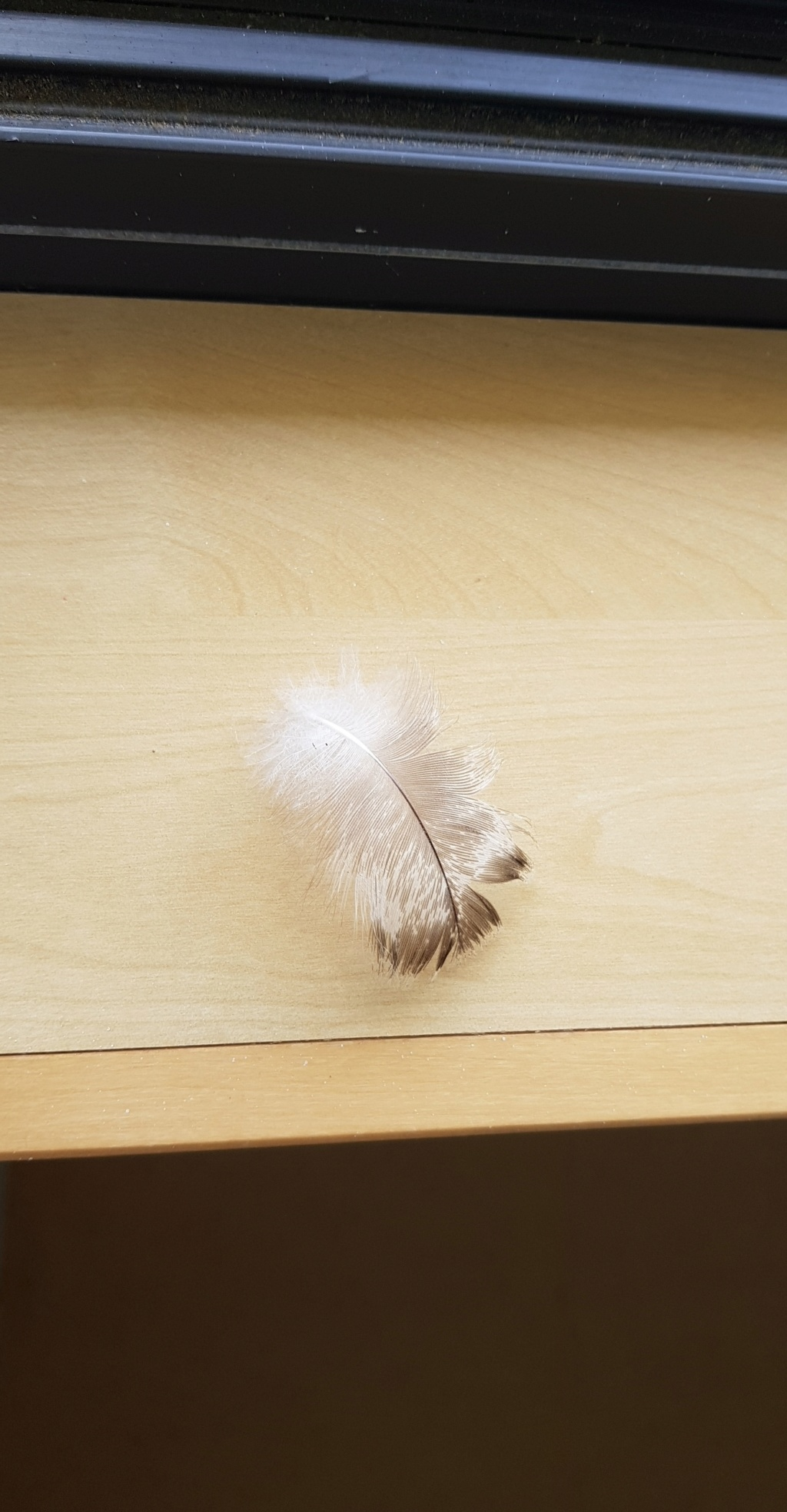 Identifications de plumes  Plume_15