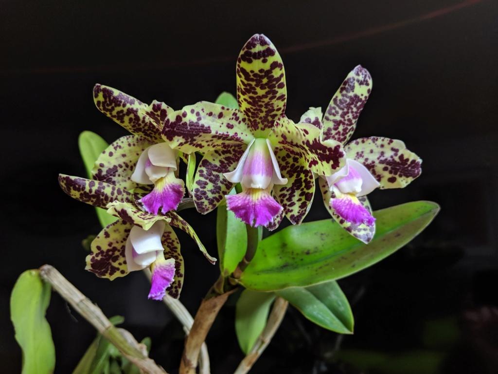 Cattleya Green Emerald 'Orchid Queen' Img_2010