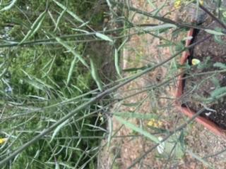 Saving Kale Seeds Aa4ea110